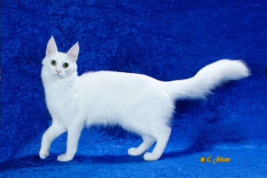 Sunbriar Turkish Angora Cats