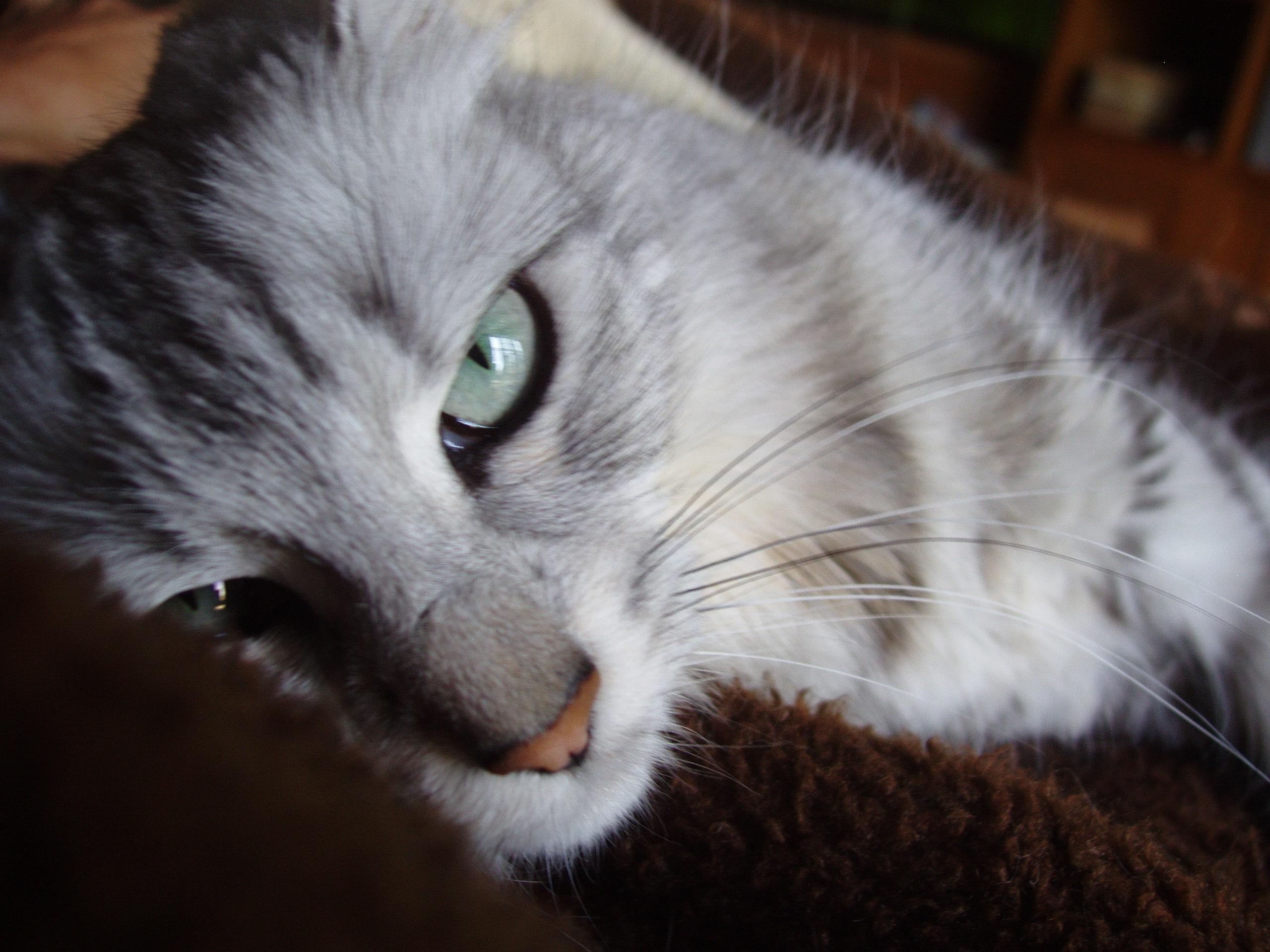 Sunbriar Turkish Angora Cats